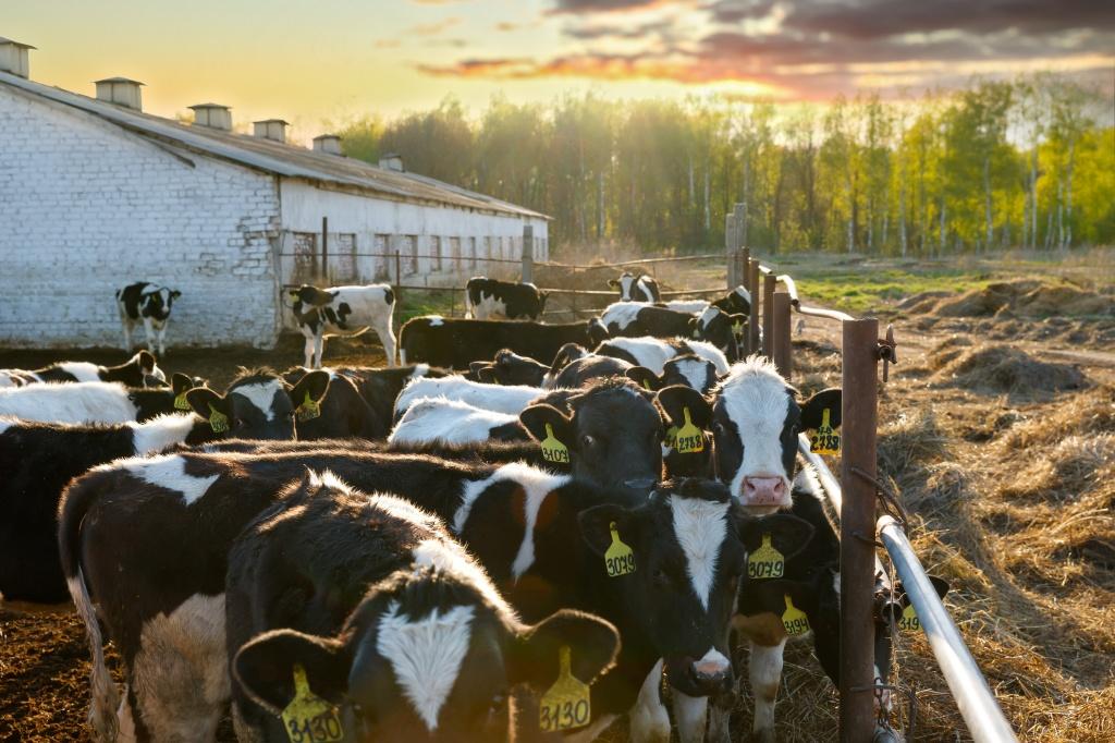 Выращивание быков производителей 8
